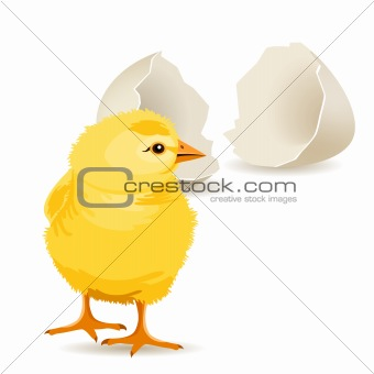 Small yellow chicken hatched from white egg