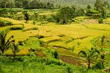 rice field landcape in bali indonesia