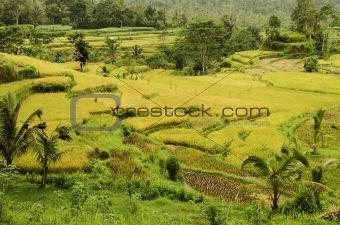 rice field landcape in bali indonesia