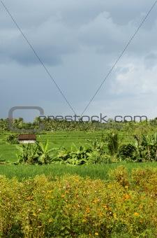 rice field landscape in bali indonesia