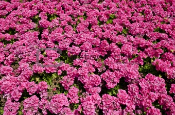 bright pink flowers in the sunshine