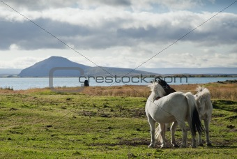 ponies in iceland landscape