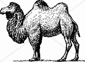 Camel — ship of the desert