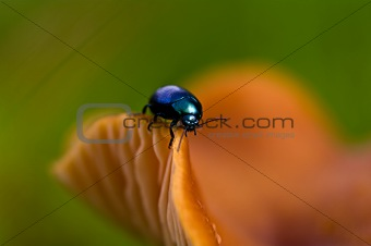 Blue beetle on the edge of a mushroom
