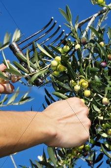 olives harvesting