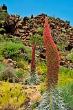 Tenerife bugloss in Teide National Park, Spain