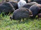 Grazing flock