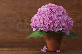 Blossoming pink hydrangea in pot