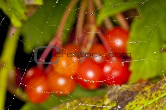 spiderweb with raindrops and berries