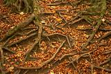Tree Roots Protruding Through Autumn Leaves