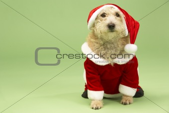 Small Dog In Santa Costume