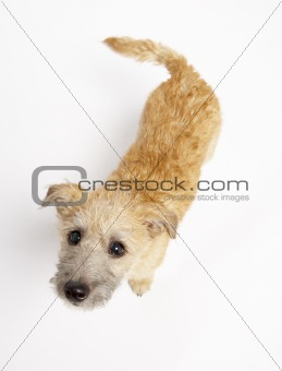 Small Dog Standing And Looking Up