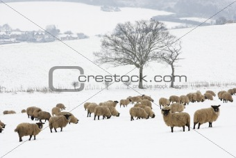 Sheep Standing In A Snow Filled Field