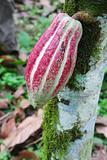 Pod of Arriba cacao on a tree in Ecuador