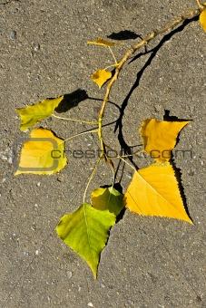 Aspen twig on asphalt