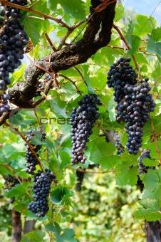 Black Grapes, vertical