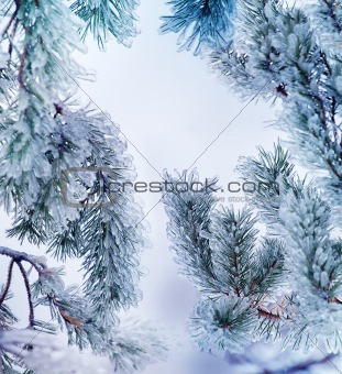 Close-up of ice on a pine-tree in winter
