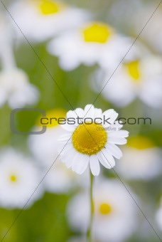 Camomile flowers.