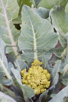 One organic Romanesco Broccoli.