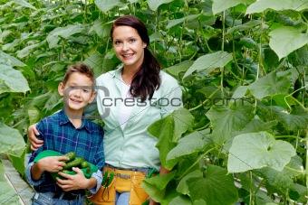Cucumber crop