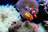 Pair of clown fish