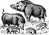 Wild boar family