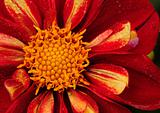 Bright red daisy