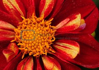 Bright red daisy
