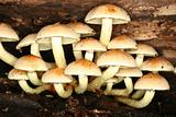 Sulphur Tuft (Hypholoma fasciculare)