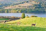 deer at Loch Tay, Highlands, Scotland