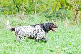 running hunting dog