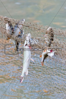 fish caught in fishnet