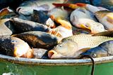 fish in vat during harvesting pond