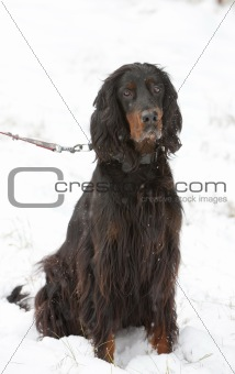 sitting hunting dog