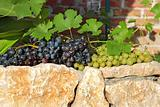 grapes over stone fence