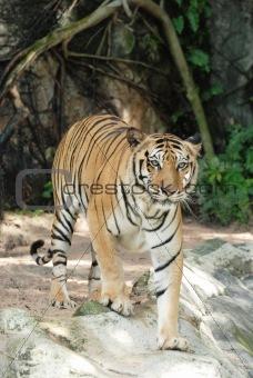 adult Sumatran tiger