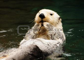 Arctic white otter