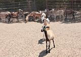 Barbado Sheep