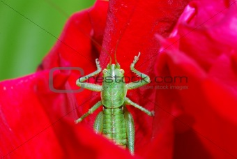 green grasshopper bloom