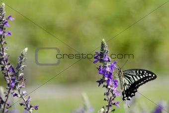 Asian Swallowtail, Papilio xuthus