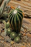 Parodia magnifica