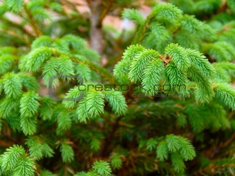 Green fir branch