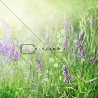 Lavender field background