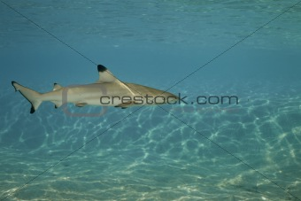 Blacktip reef shark carcharhinus melanopterus
