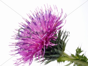 Cotton Thistle flower isolated on white