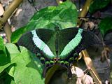 Emerald swallowtail