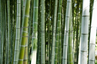 Green bamboo forest background