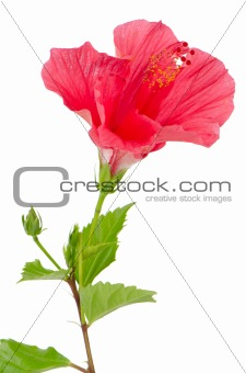 Beautiful pink hibiscus flower