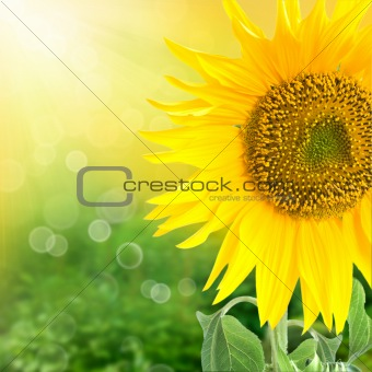 Abstract floral background with sunflower