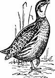 Bird coturnix